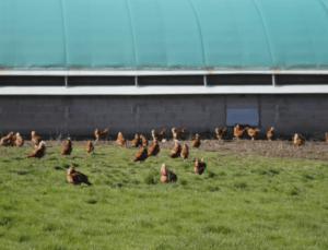 Huevos de gallinas criadas en libertad