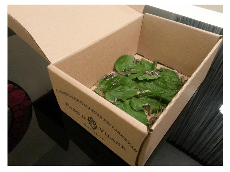 La caja de la gallinita da cobijo a los gusanos de seda