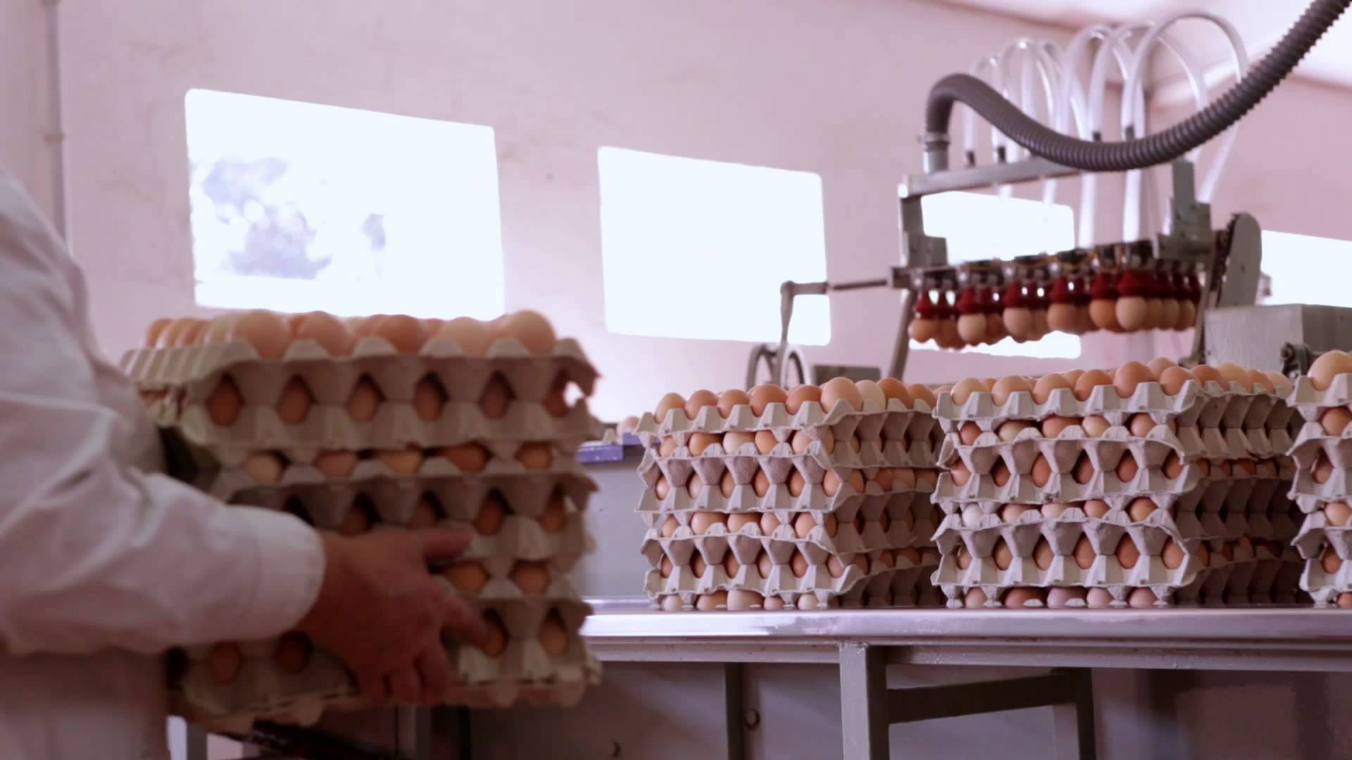 Proceso de producción de los huevos camperos Pazo de Vilane