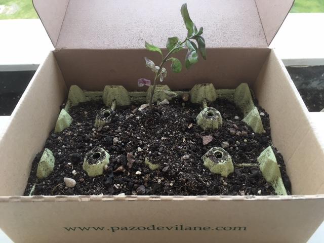 Semilleros creados con la caja de huevos camperos Pazo de Vilane