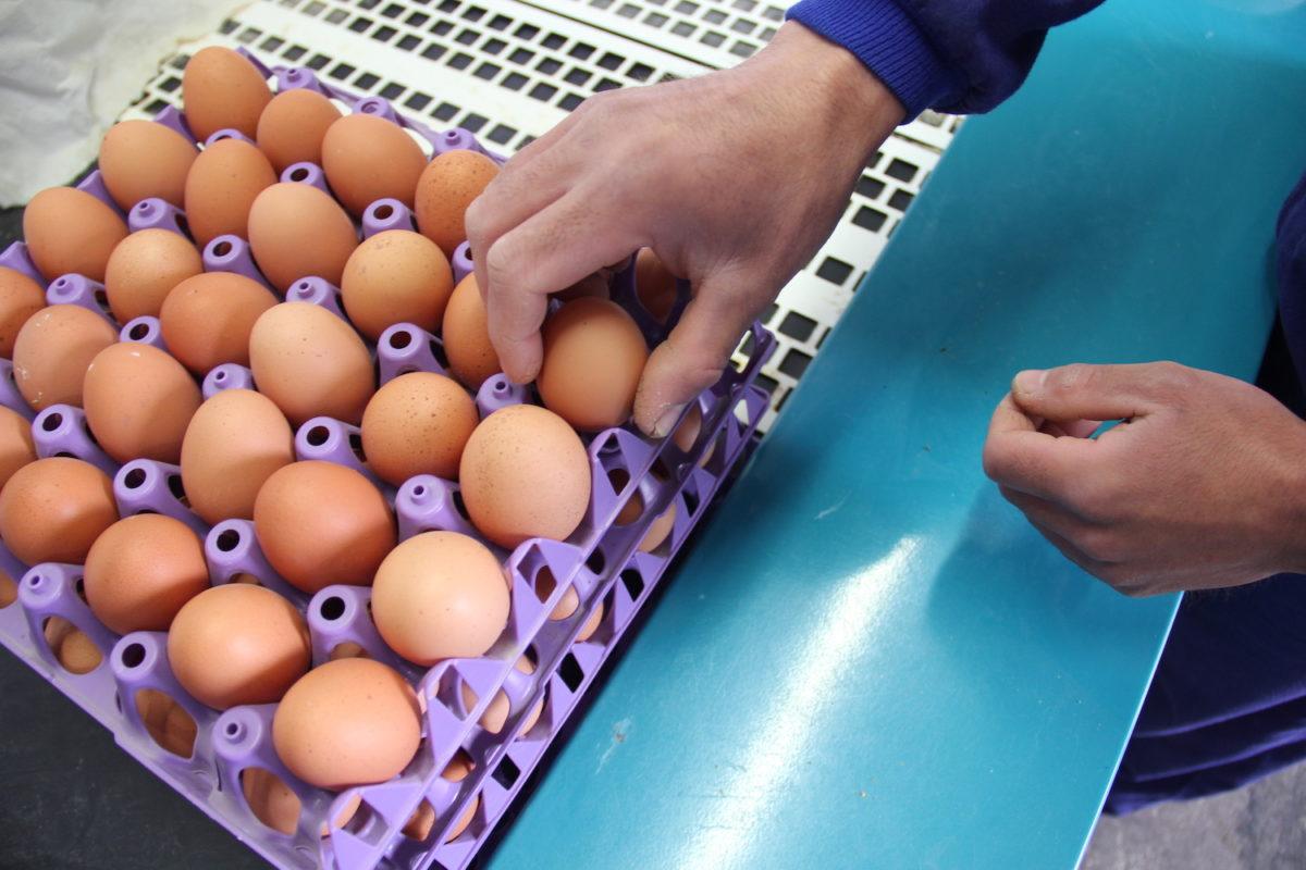 """Marcos, encargado da granxa de Santa Cristina: """"Que as galiñas estean fóra, repercute na calidade do ovo"""""""