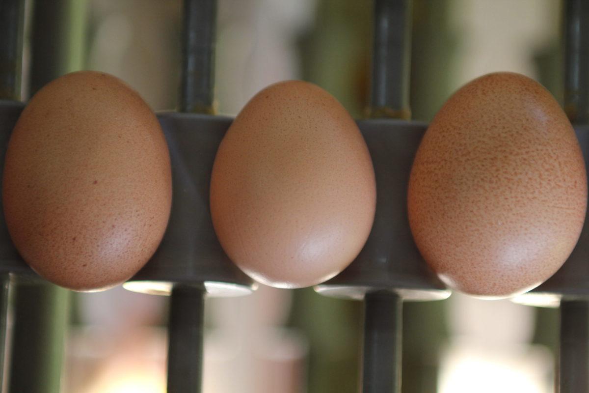 Consejos para manipular correctamente los huevos camperos