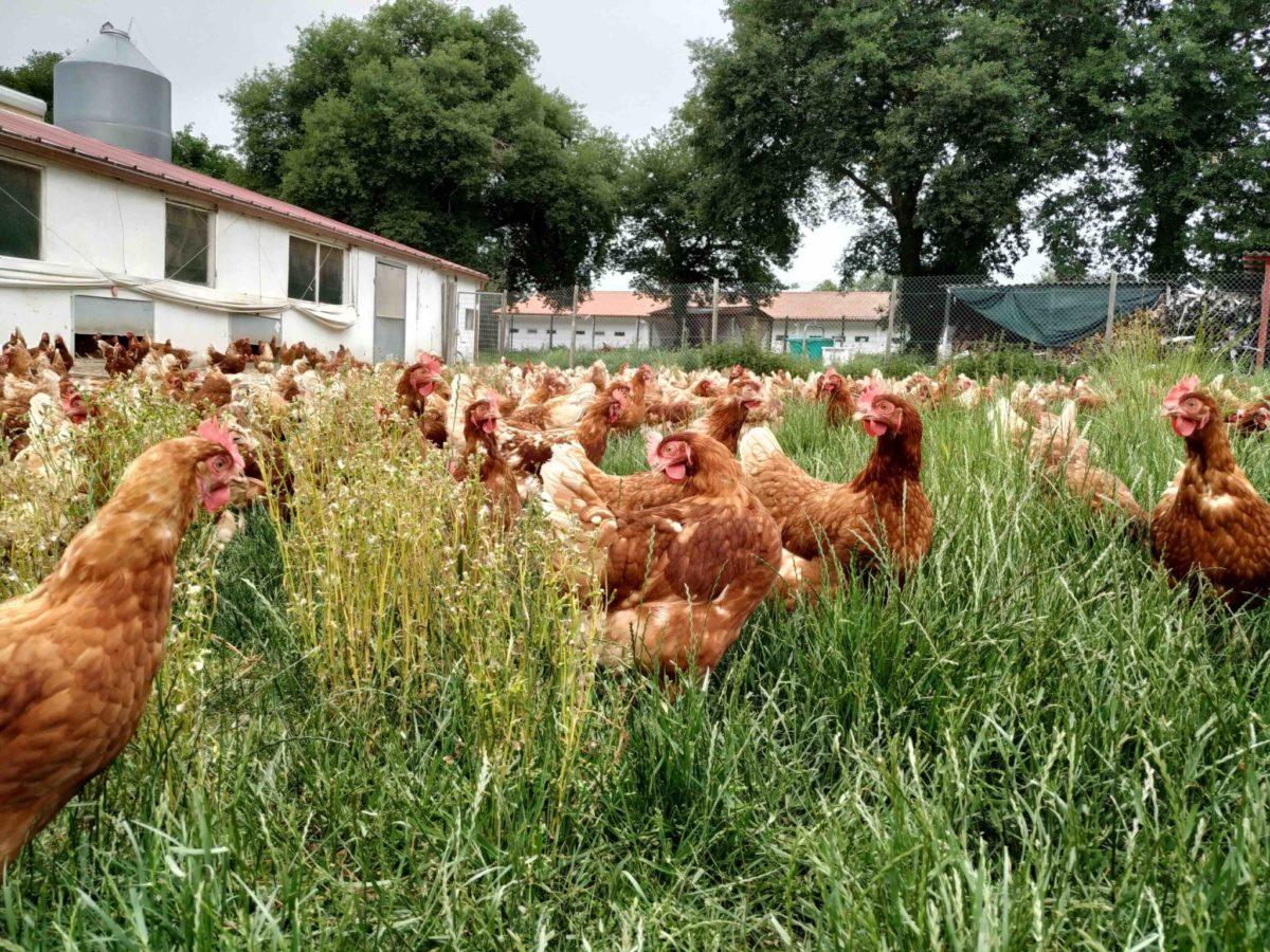 Las gallinas de Pazo de Vilane disfrutan durante todo el año de pastos frescos y tiernos gracias al clima de Galicia