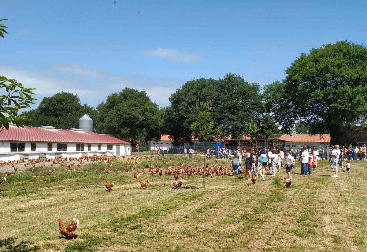 Conociendo a las gallinas en libertad