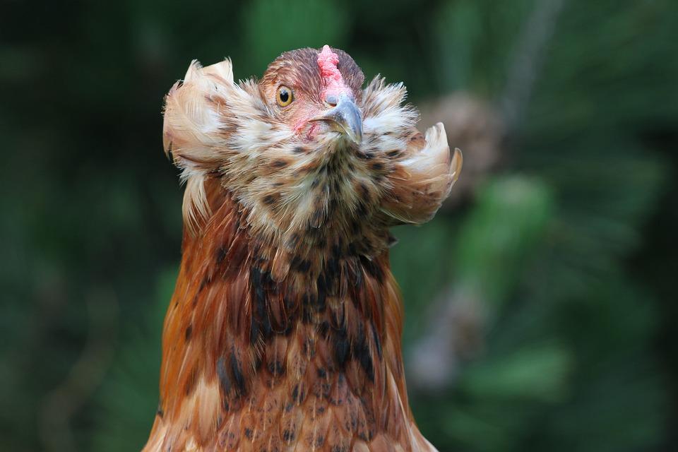 Descubrindo as galiñas: galiña araucana
