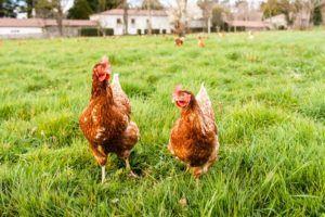 Razas de gallinas: conoce las diferentes clases