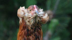 Descubriendo a las gallinas: gallina araucana