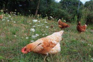 El huevo campero Pazo de Vilane nace de gallinas en libertad