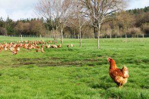 Pazo de Vilane solo produce huevos de gallinas en libertad