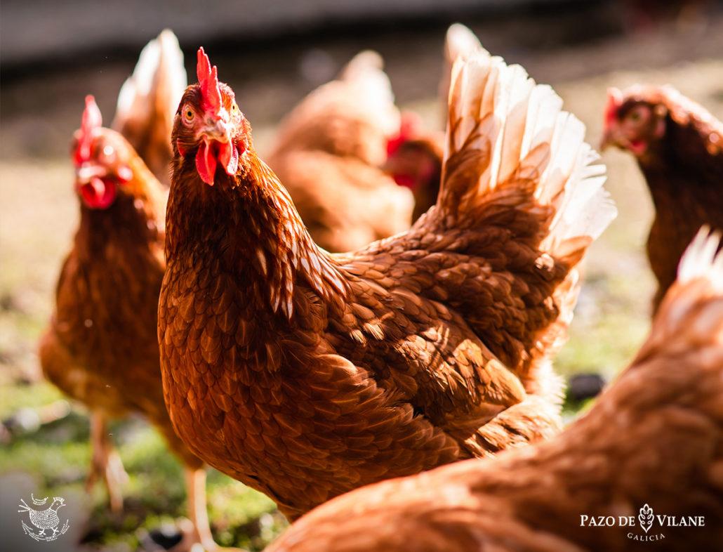 Gallinas Isa Brown, raza de gallinas ponedoras de Pazo de Vilane.