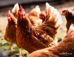 Descubriendo a las gallinas: Isa Brown