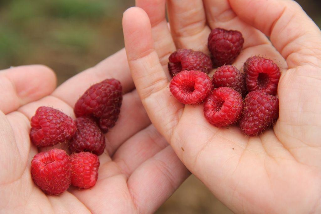Manos con frutos de frambuesa recién recogidas de Pazo de Vilane