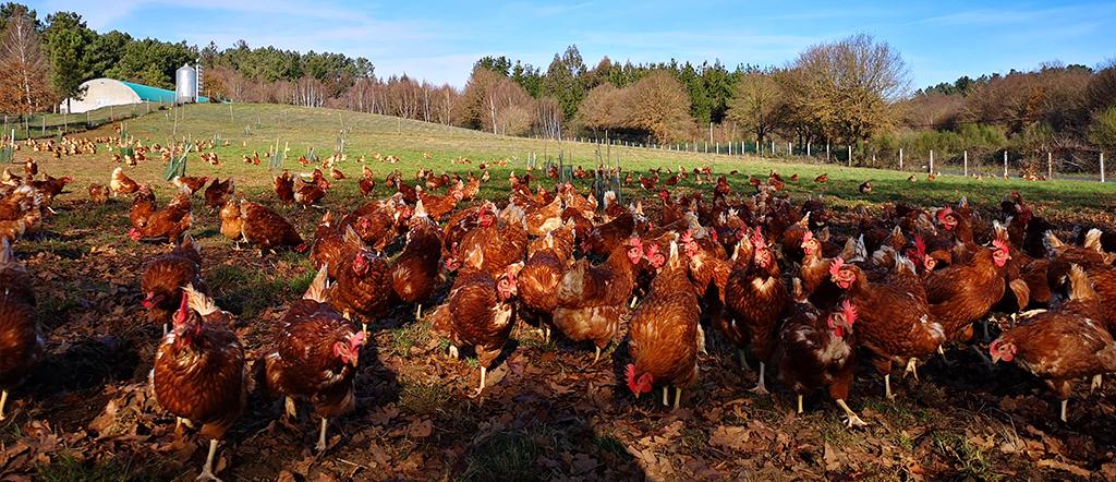 huevos de gallinas en libertad