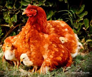 Cómo se reproducen las gallinas