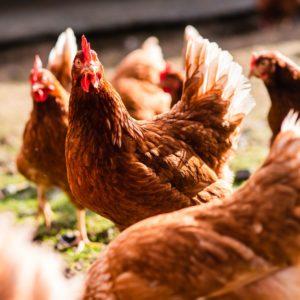 Bienestar Animal de Gallinas Camperas: Cómo aplicamos en Pazo de Vilane los más exigentes estándares para conseguir huevos únicos
