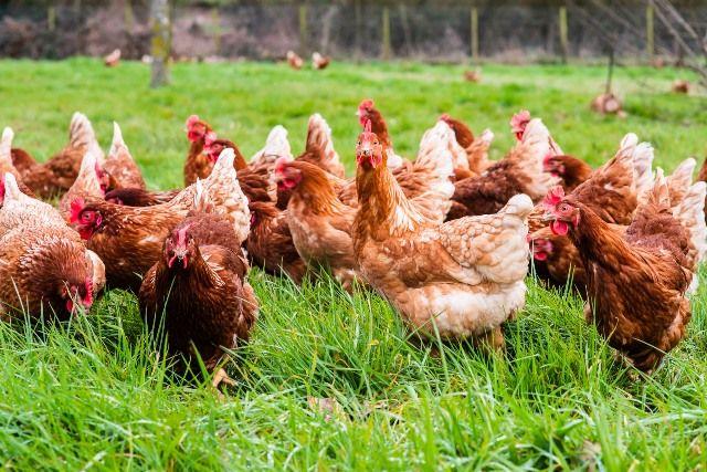 Gallinas de Pazo de Vilane pastoreando juntas. El pastoreo diario es una de las principales condiciones de bienestar animal.