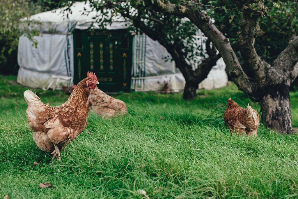 Galiñas que non poñen ovos.