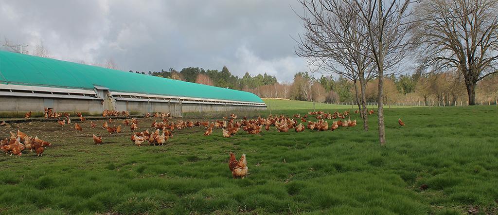Granja de gallinas en Galicia de Pazo de Vilane