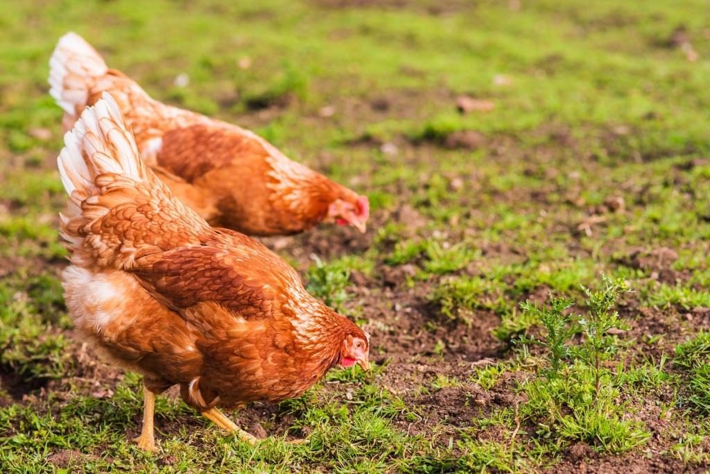Dos gallinas Lohmna picoteando durante el pastoreo en Pazo de Vilane.