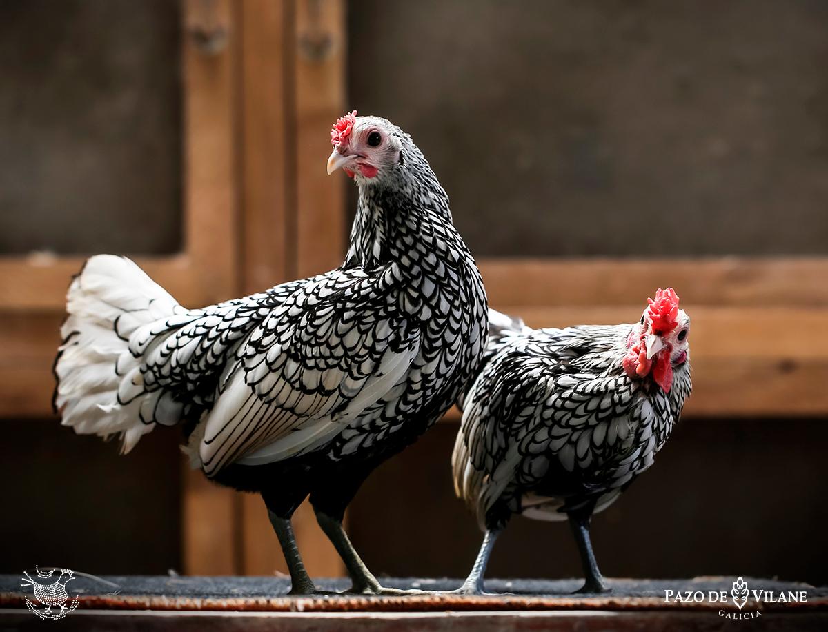 Descubrindo ás galiñas: Sebright