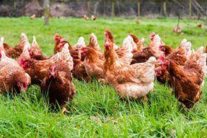 Bienestar animal: 8 reglas de oro para formar sociedades prósperas y pacíficas de gallinas camperas
