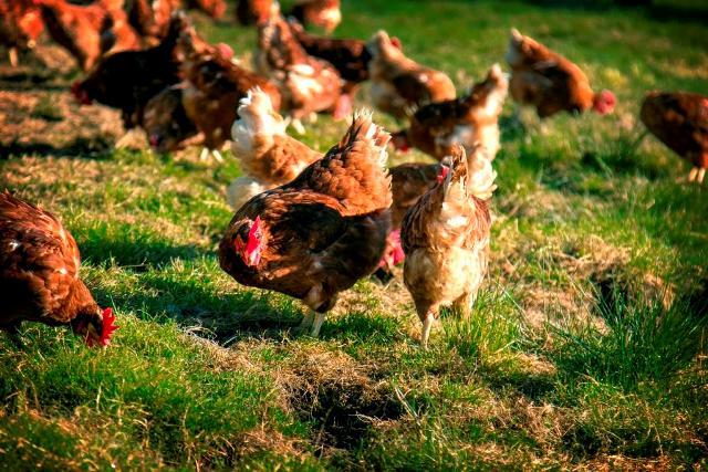 Gallinas pastoreando en Pazo de Vilane. El pastoreo es clave en la alimentación de las gallinas camperas.