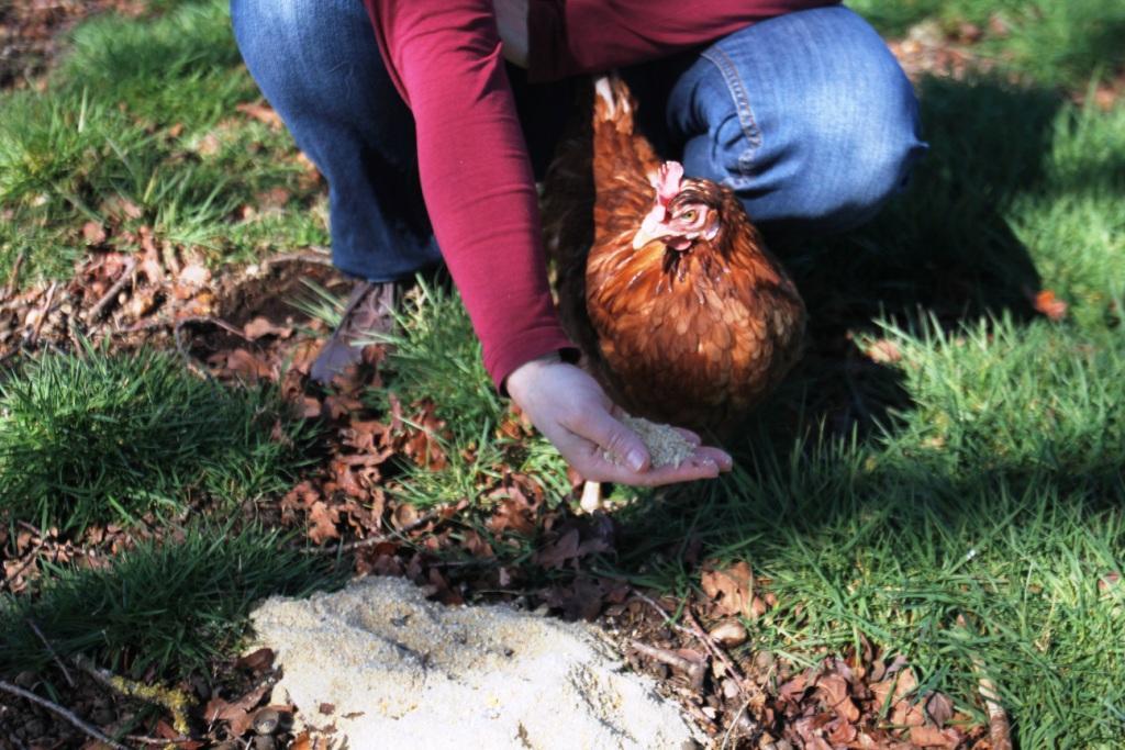 Gallina con cuidadora ofreciéndole pienso. La alimentación de las gallinas camperas es fundamental para su bienestar animal.