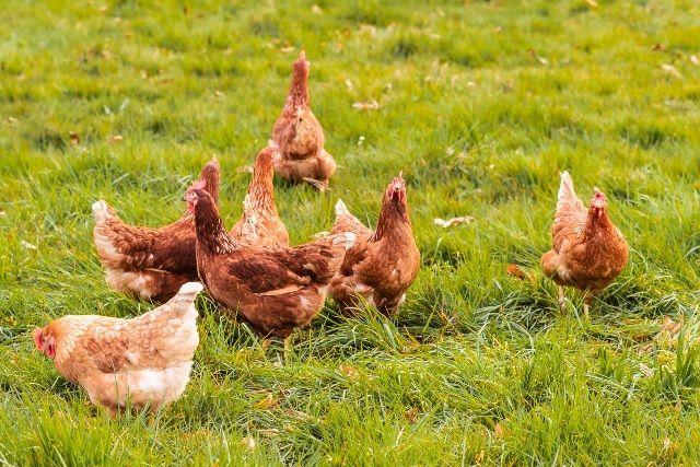 Pequeña manada de gallinas camperas en Pazo de Vilane - Diferencias entre gallinas camperas y gallinas de suelo.