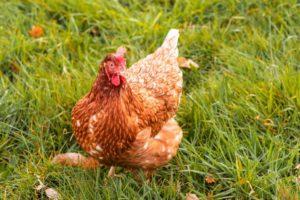 6 diferencias básicas entre las gallinas camperas y las gallinas criadas en suelo