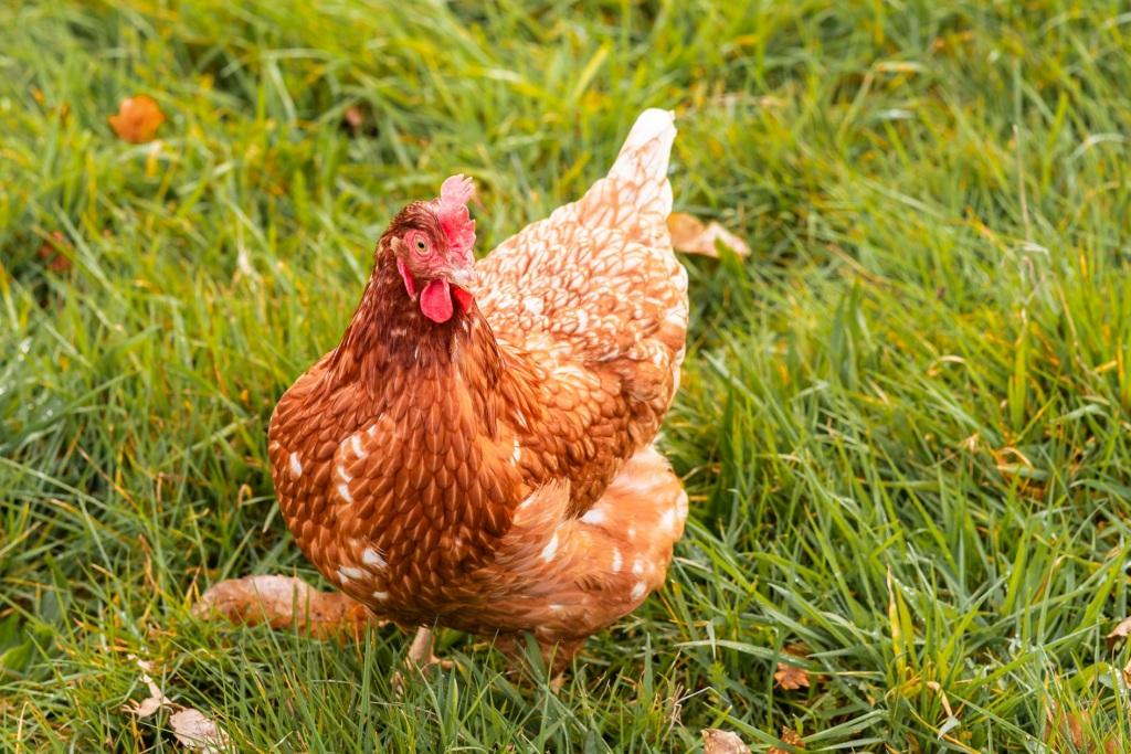 Gallina campera pastoreando en Pazo de Vilane. A diferencia de las gallinas de suelo, las gallinas camperas pasean por el campo.