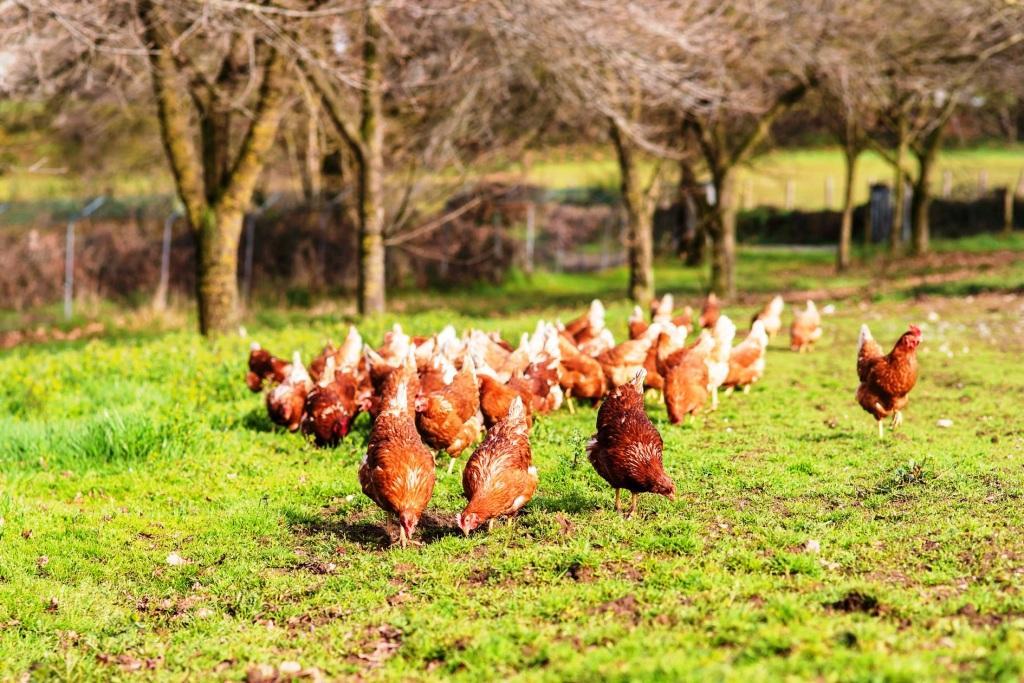 Pequeña manada de gallinas pastoreando en Pazo de Vilane
