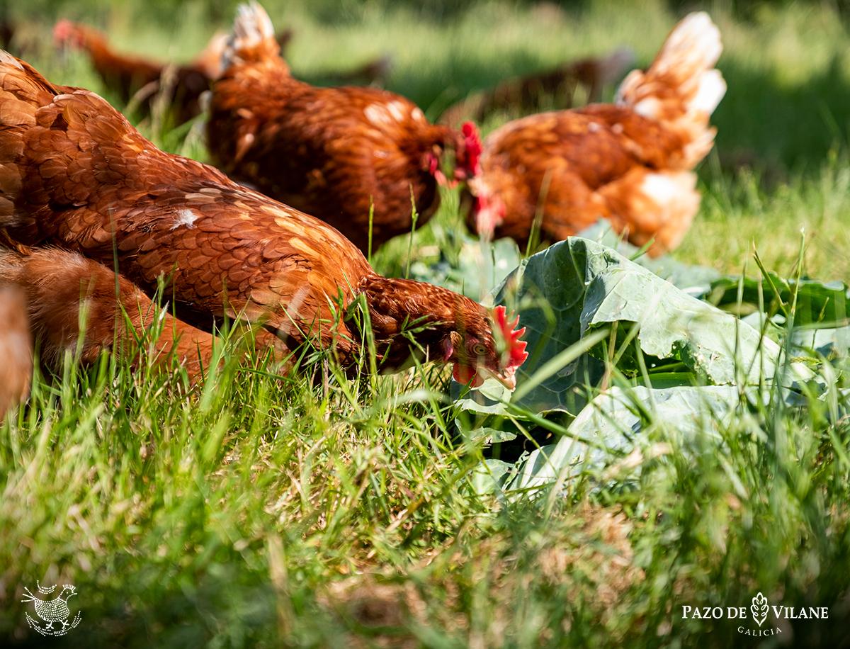 Como facer un galiñeiro de forma doada