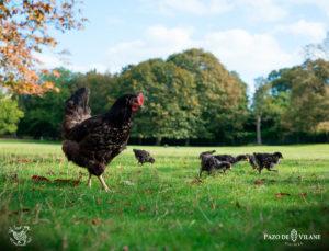Descubriendo a las gallinas: gallina castellana negra