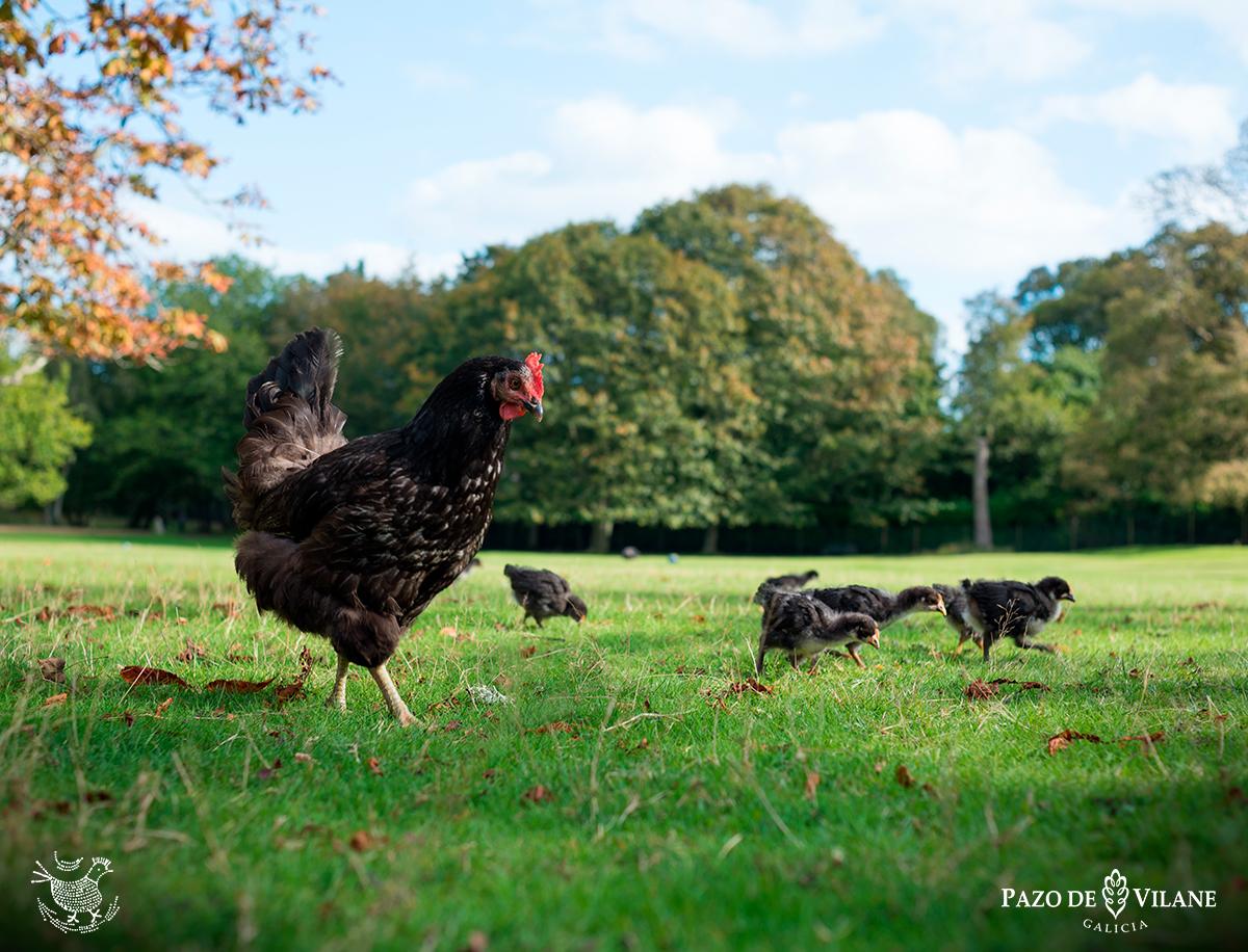Descubrindo ás galiñas: galiña castelá negra