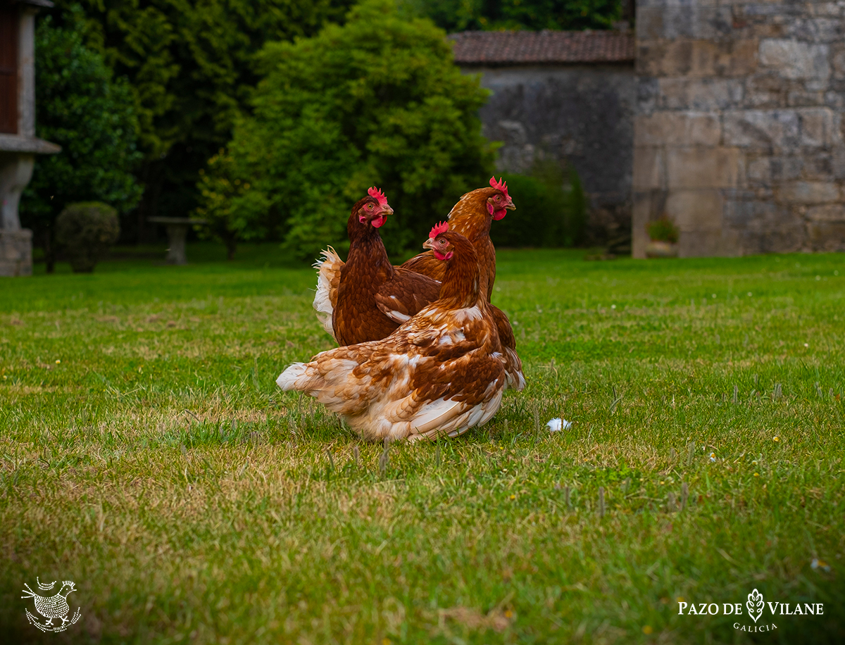 Como dormen as galiñas