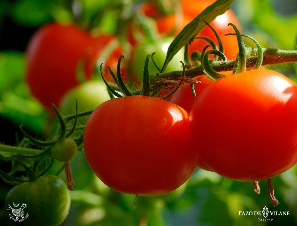 Aprende como cultivar tomates con Pazo de Vilane