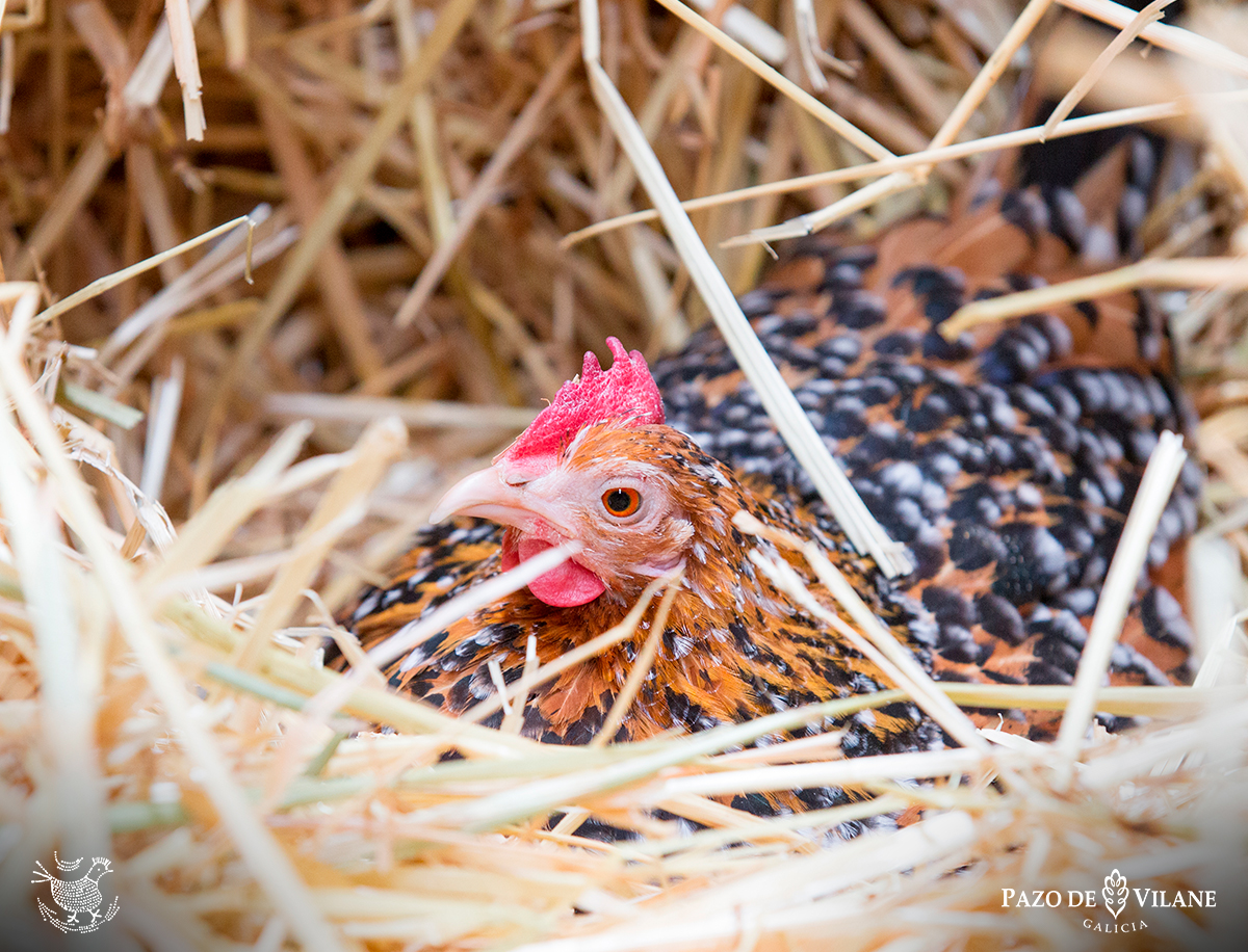Descubriendo a las gallinas: gallina americana enana