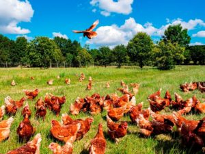 Pastoreo de gallinas: beneficioso para ellas y… también para nuestra salud