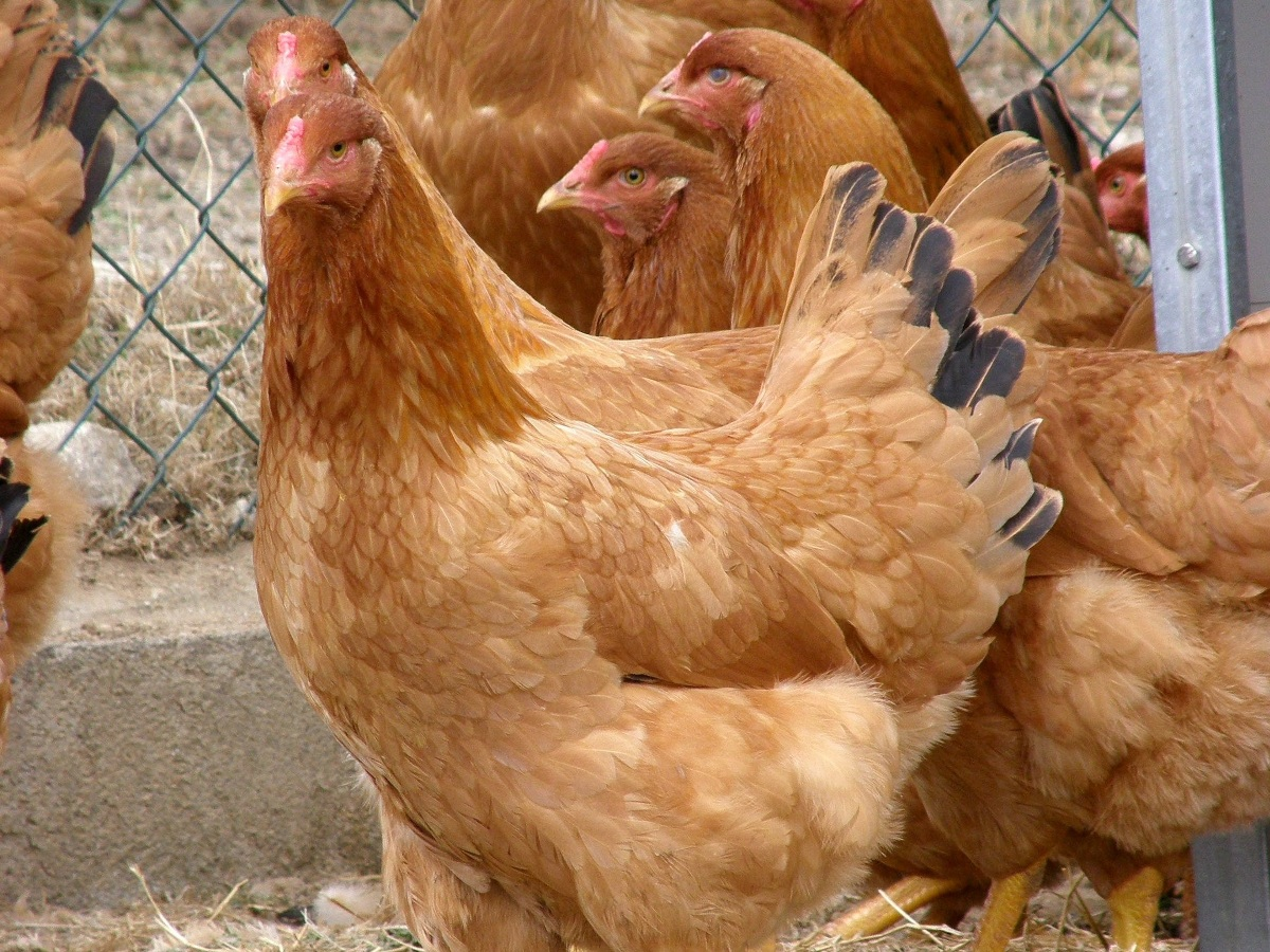 Descubrindo as galiñas : galiña de Mos