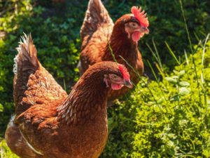 12 curiosidades sobre a crista das galiñas que xamáis sospeitaches.