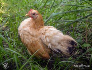 Descubriendo a las gallinas: gallina serama, posiblemente, la más pequeña del mundo